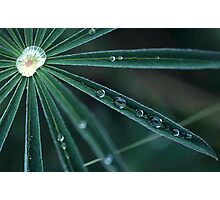 Dew on Lupine, Maine Photographic Print
