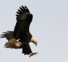 Bald Eagle - Landing Gear Down   by Barbara Burkhardt