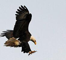 Bald Eagle - Landing Gear Down   by Barbara Burkhardt