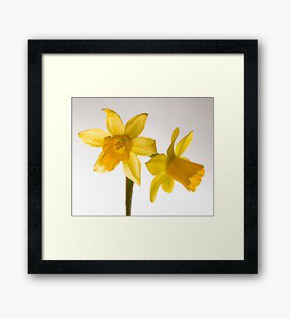 Daffodil Haiku Framed Print