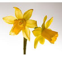 Daffodil Haiku Photographic Print