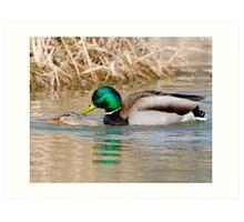 Mallard Ducks Mating Art Print