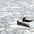 Seals - Resting on Ice by Barbara Burkhardt