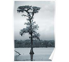 Blue Cypress Poster
