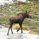 Alaskan Moose  by Barbara Burkhardt