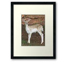 Fallow Deer Fawn Framed Print