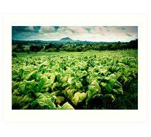 Tobacco Crop, Malawi Art Print
