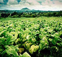 Tobacco Crop, Malawi by Tim Cowley