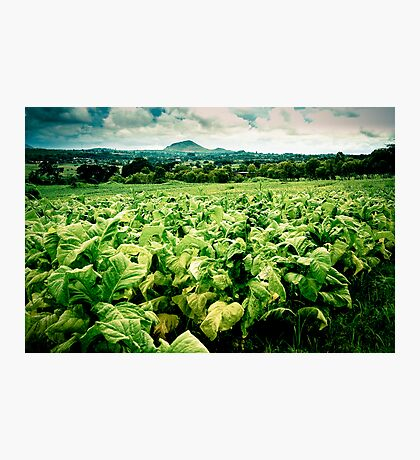 Tobacco Crop, Malawi Photographic Print