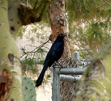 The Grackle by tcphoto