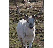 White Stag Photographic Print