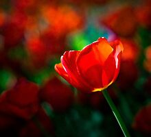 Red tulip - Mystery of blooming by luckypixel