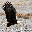 Take Off - Bald Eagle by Barbara Burkhardt