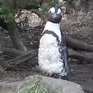 Posing Penguin on the Rocks by karenuk1969
