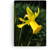 "Daffodil (Narcissus ""Charity May"") in mid-March Canvas Print"
