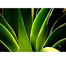 Green Aloe Photographic Print