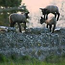 Jumping Lambs by AmyRalston