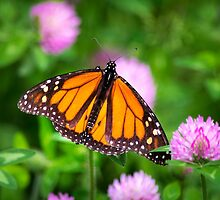 Monarch Butterfly on Pink Flowers by Christina Rollo