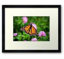 Monarch Butterfly on Pink Flowers Framed Print