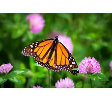 Monarch Butterfly on Pink Flowers Photographic Print