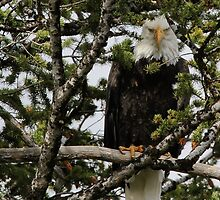 Old Eagle Eyes by Ken McElroy