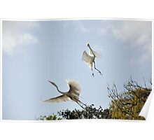Great Egrets. Poster