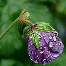 Cranesbill's rain dance by VickiOBrien