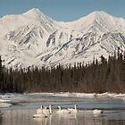 Trumpeter Swans on Pine Creek, Yukon by Marty Samis