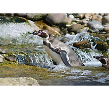 Penguin in the Water Photographic Print