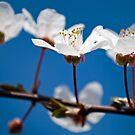 Prunus Cerasifera by Bradley Old