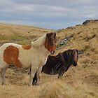 Dartmoor: Ponies at Sandy Hole Pass by Rob Parsons