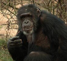 Mature Chimpanzee  by Franco De Luca Calce