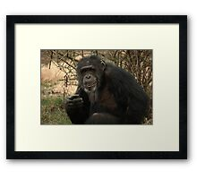 Mature Chimpanzee  Framed Print