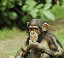 Baby Chimpanzee 2 by Franco De Luca Calce