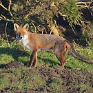 The Cornish Fox by Rob Parsons