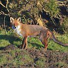 The Cornish Fox by Rob Parsons