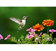 Hummingbird Flying with Colorful Flowers Photographic Print