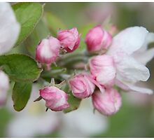 Apple blossom time .... by LynnEngland