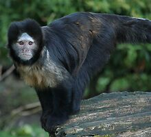 Buffy-Headed Capuchin Monkey by Franco De Luca Calce