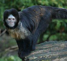 Buffy-Headed Capuchin Monkey by Franco De Luca Calce
