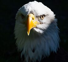 Bald Eagle Portrait by pgfdonohoe