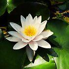 Water lily by Thad Zajdowicz
