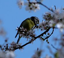Enjoying the blossom by Sharon Perrett