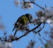 Enjoying the blossom by Sharon Perrett