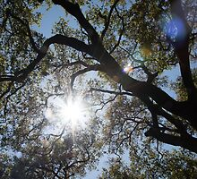 Oak tree brunches with sunshine and lens flare by zinchik