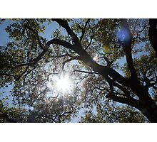 Oak tree brunches with sunshine and lens flare Photographic Print