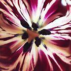 Striped Tulip Open by Barbara Wyeth