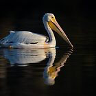 White Pelican by Rob Lavoie