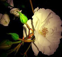 Rosa blanca... by cieloverde
