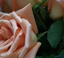 Peach Roses by laureldenae
